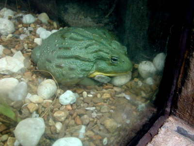 Africa Bullfrog - NC Photo by Tom Gillespie